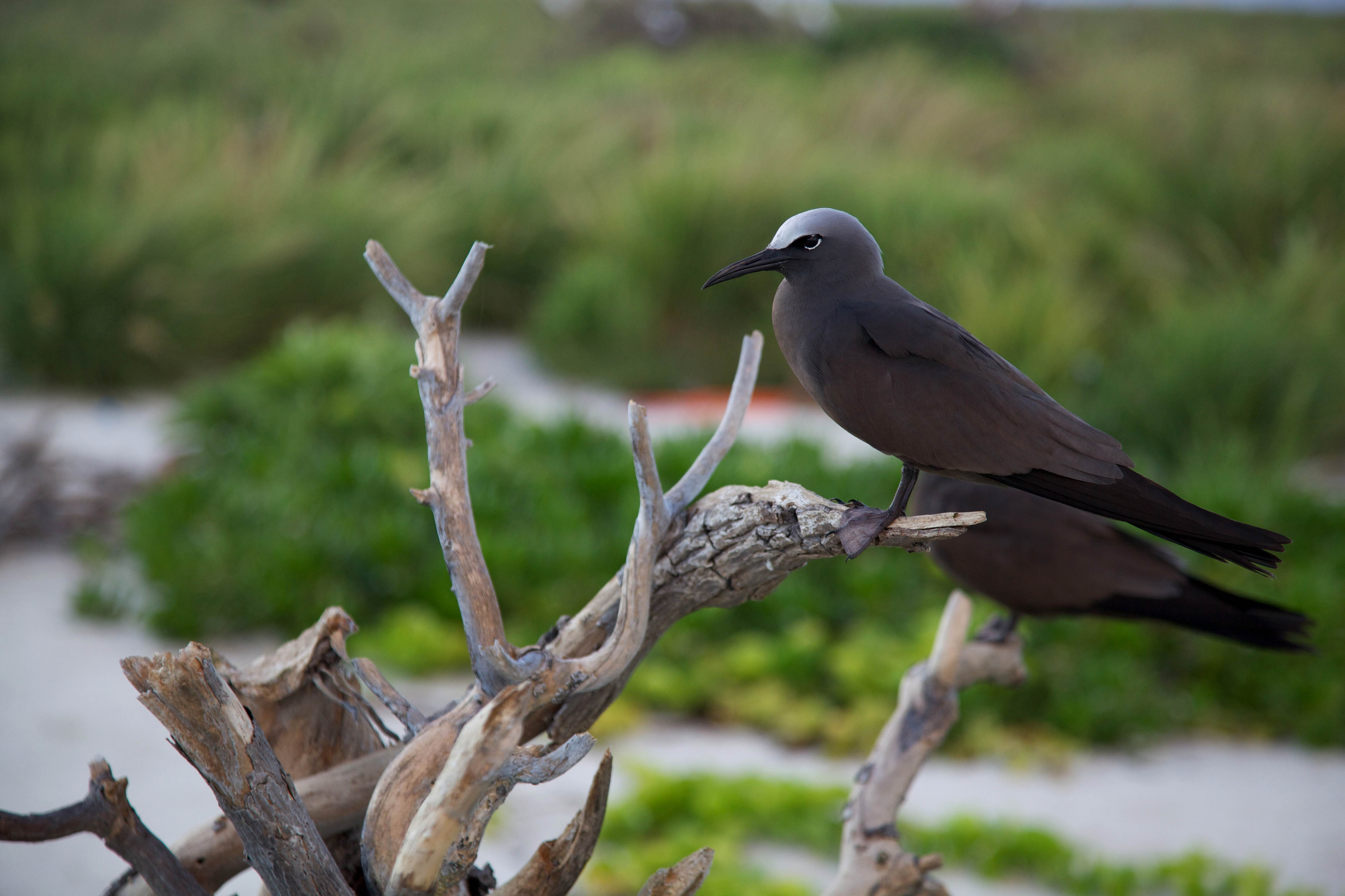 Free photograph; brown, noddy, bird, perched, piece, wood