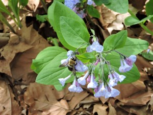 abejorro, bebiendo, néctar, Virginia, bluebell, flor