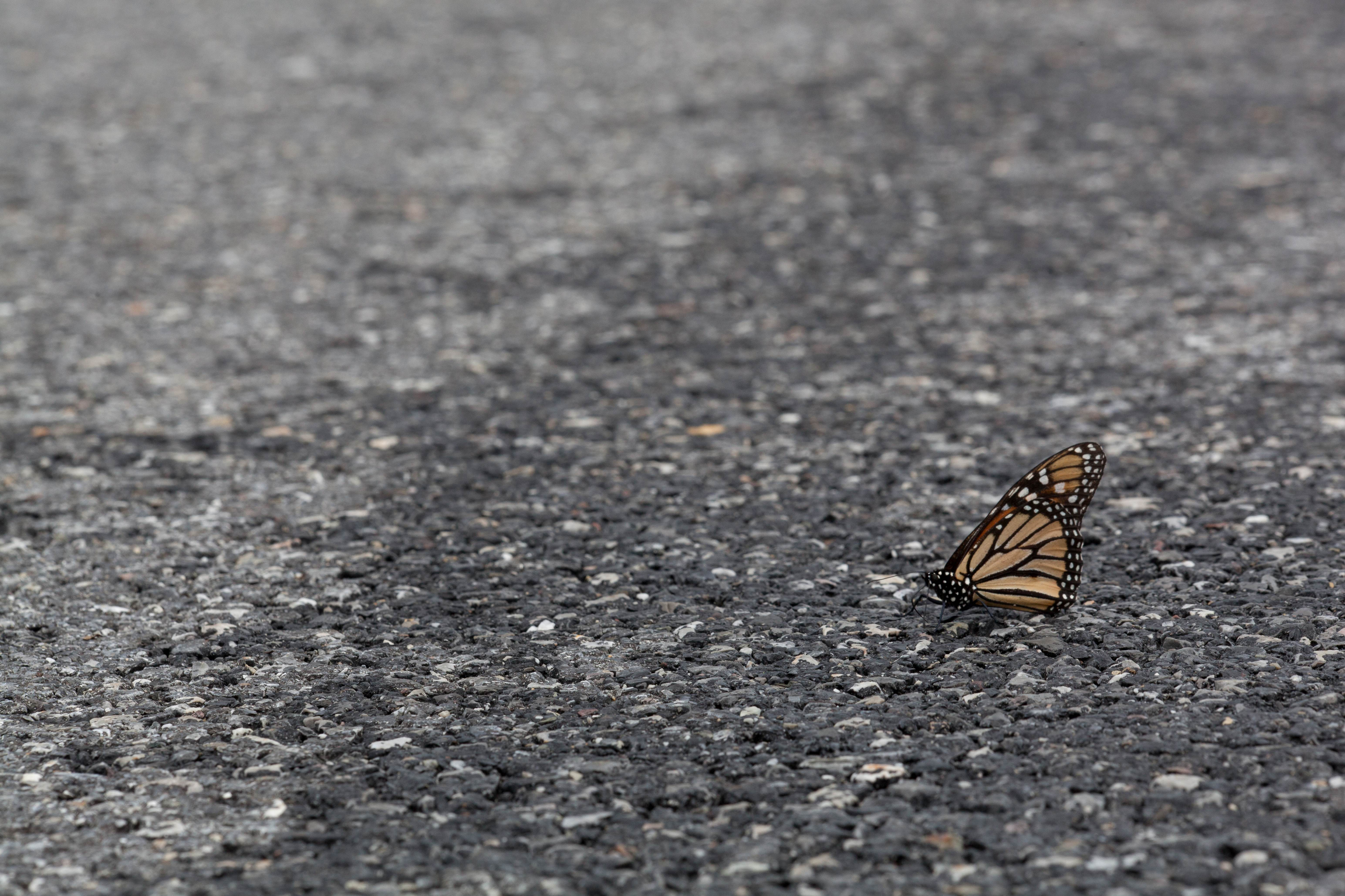 Free photograph; butterfly, asphalt, road, insect, bug