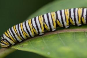 papillon, larves, de près, macro, insecte, métamorphosent