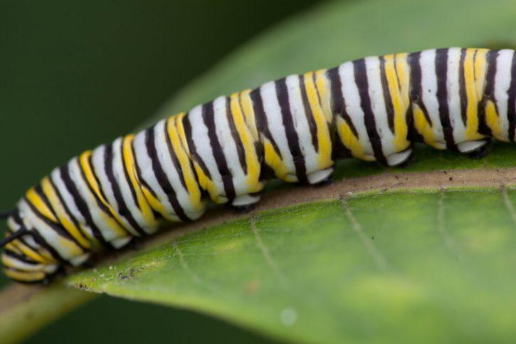 butterfly, larvae, close, macro, insect, metamorphose