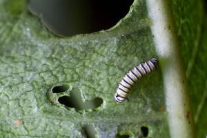 πεταλούδας, οι προνύμφες, σίτιση, φύλλο, πράσινο φυτών, έντομο, έντομο