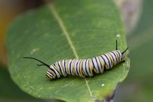 fjäril, larver, metamorfos, colorfull, insekt
