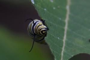 borboleta, larvas, metamorfosear, monarca, borboleta, inseto