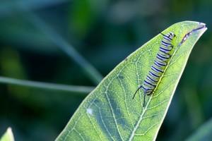 Бабочка, метаморфозой, личинки, монарх, насекомое