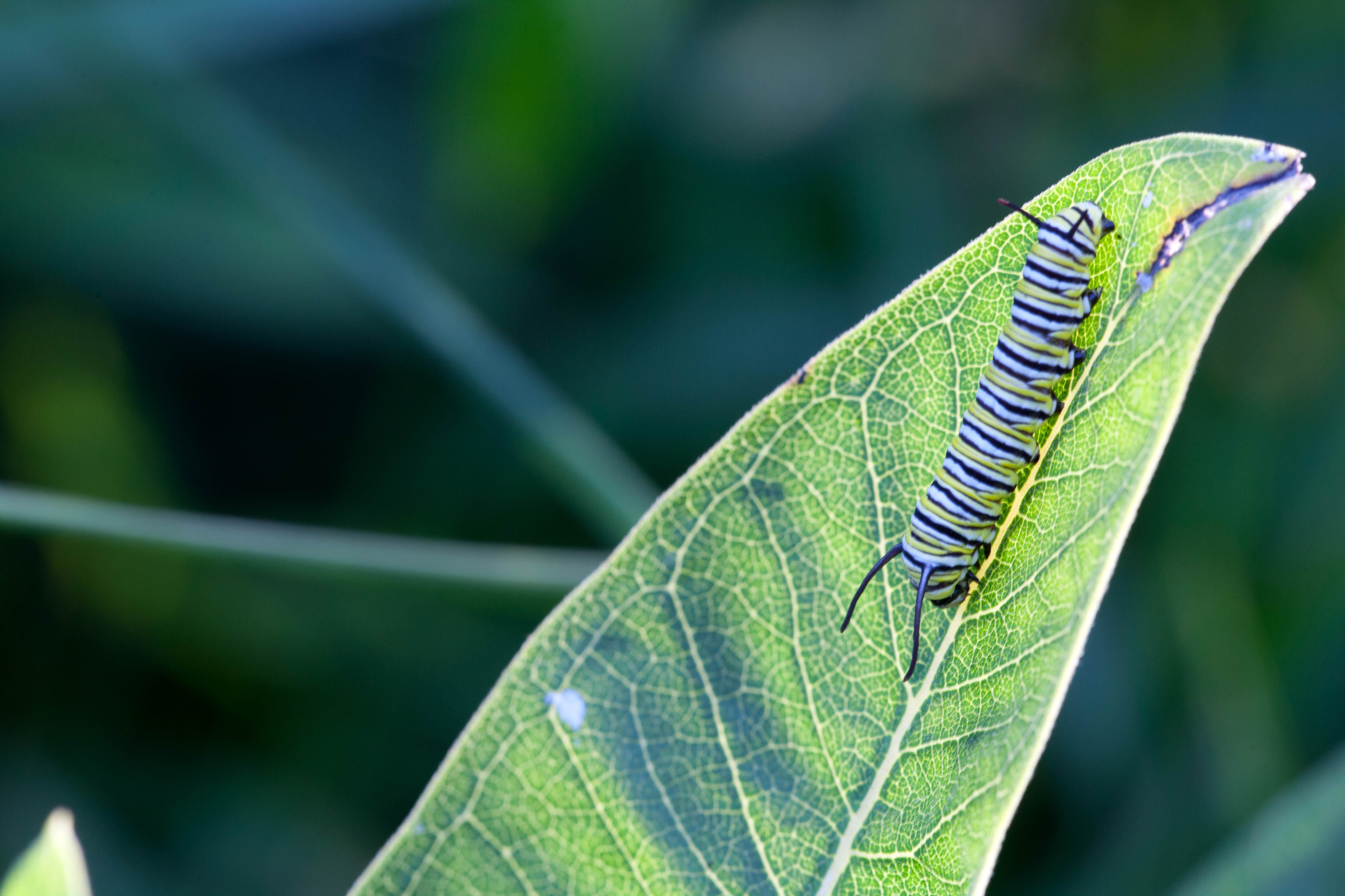 Free photograph; butterfly, metamorphose, larvae, monarch, insect