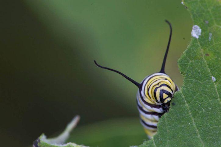 κάμπια, κεφάλι, έντομο, έντομο