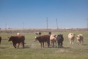 bovini, pascolo, mucche