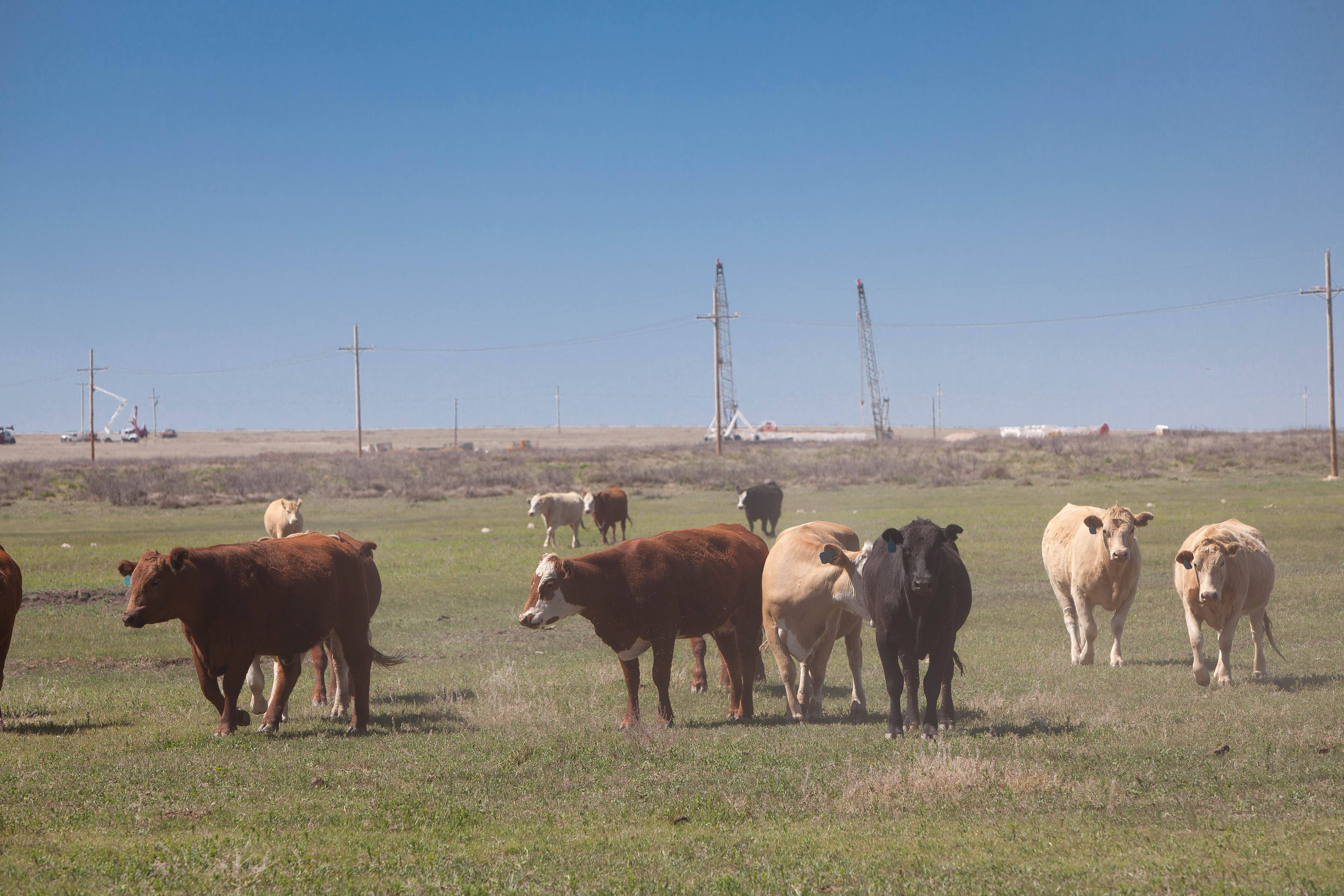 Free photograph; cattle, pasture, cows