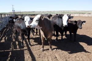 bovini, ranch, l'agricoltura, mucche