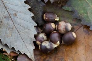 chinkapin, Eiche, Eicheln, Samen, Pflanze
