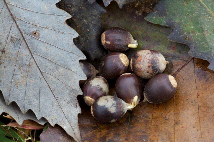 chinkapin, oak, acorns, seed, plant