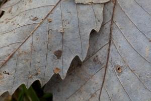 chinkapin, 橡木, 叶子