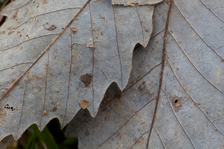 Free photograph; chinkapin, oak, leaves