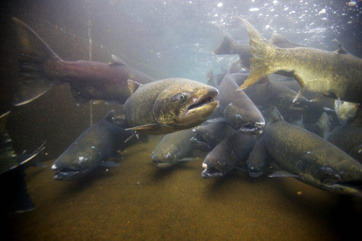 chinook, salmon, fish, underwater, photo