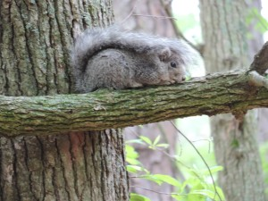 up-close, Delmarva, Peninsula, fox, squirrel