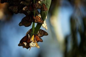 perto, de borboletas monarca,