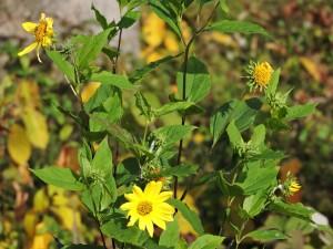 commune, champ, tournesol, plante, fleur