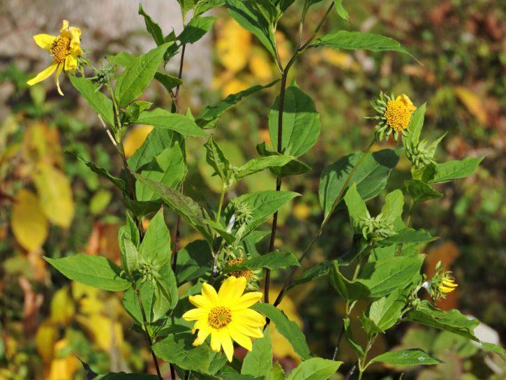 common, field, sunflower, plant, bloom