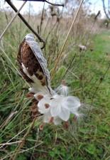 gemeinsame, milkweed, Samen, Schote