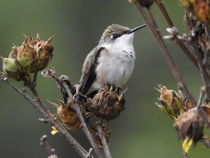 female, ruby, throated, Hummingbird, bird, shrub