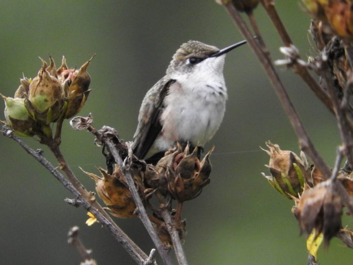 female, ruby, throated, Hummingbird, bird, perches, shrub