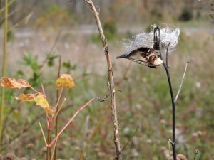 fluffy, common, milkweed, seed, pods