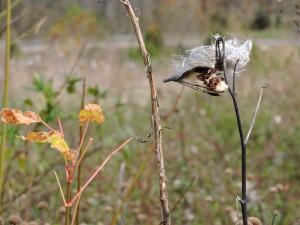 fluffy, common, milkweed, seed, pods