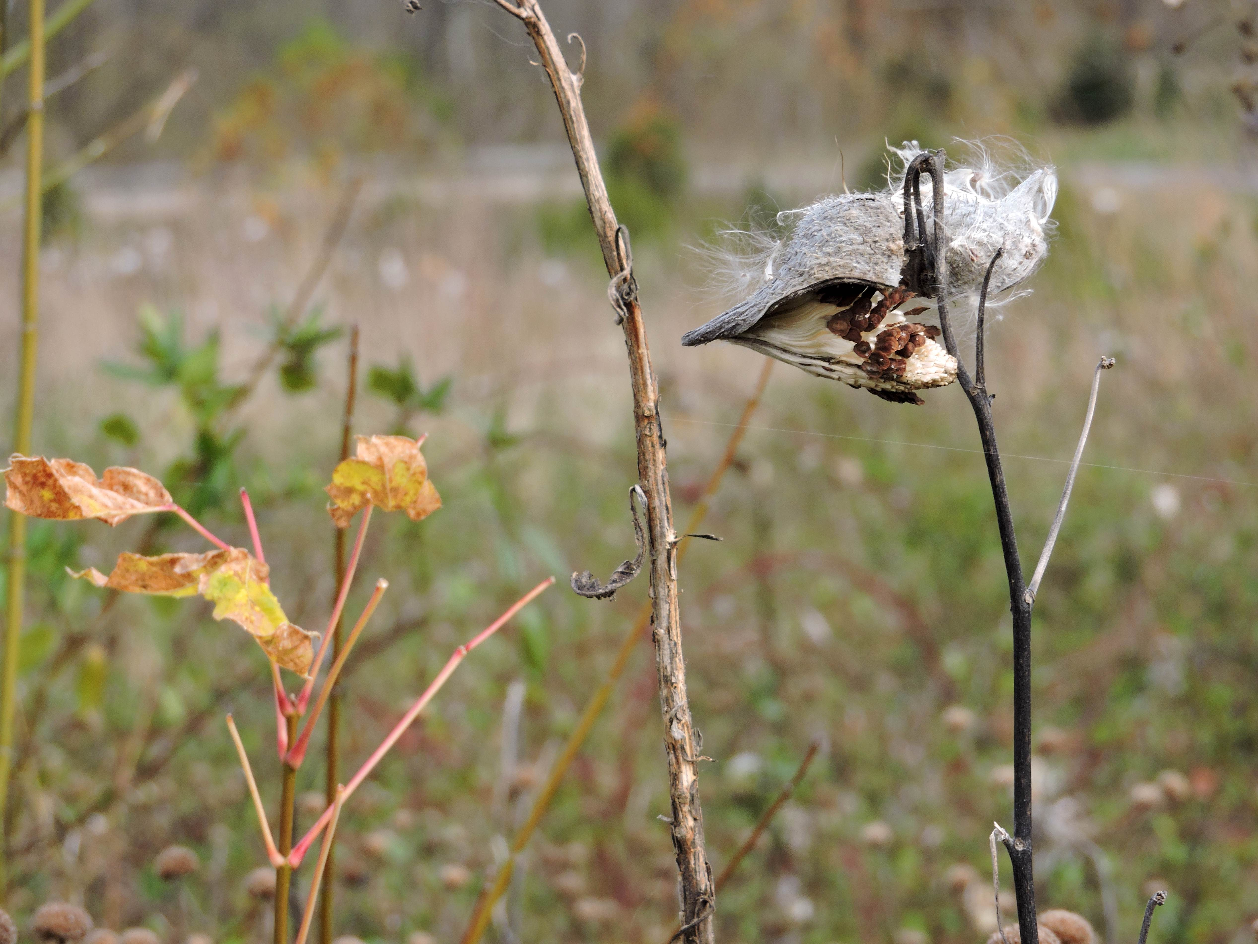 Free photograph; fluffy, common, milkweed, seed, pods