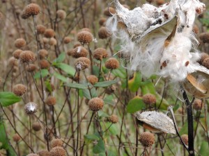 fluffy, plant, milkweed, seed, pods