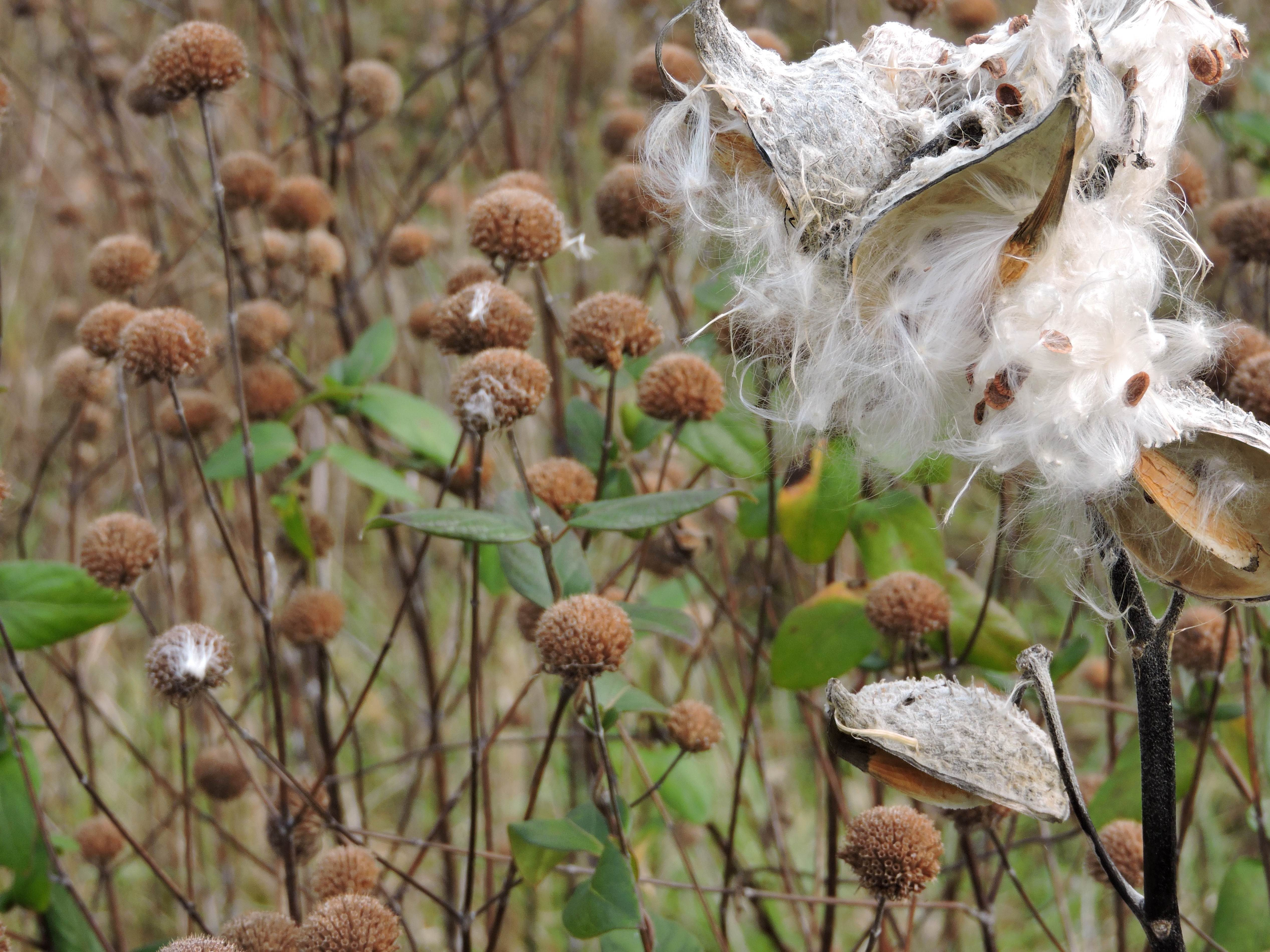 Free photograph; fluffy, plant, milkweed, seed, pods