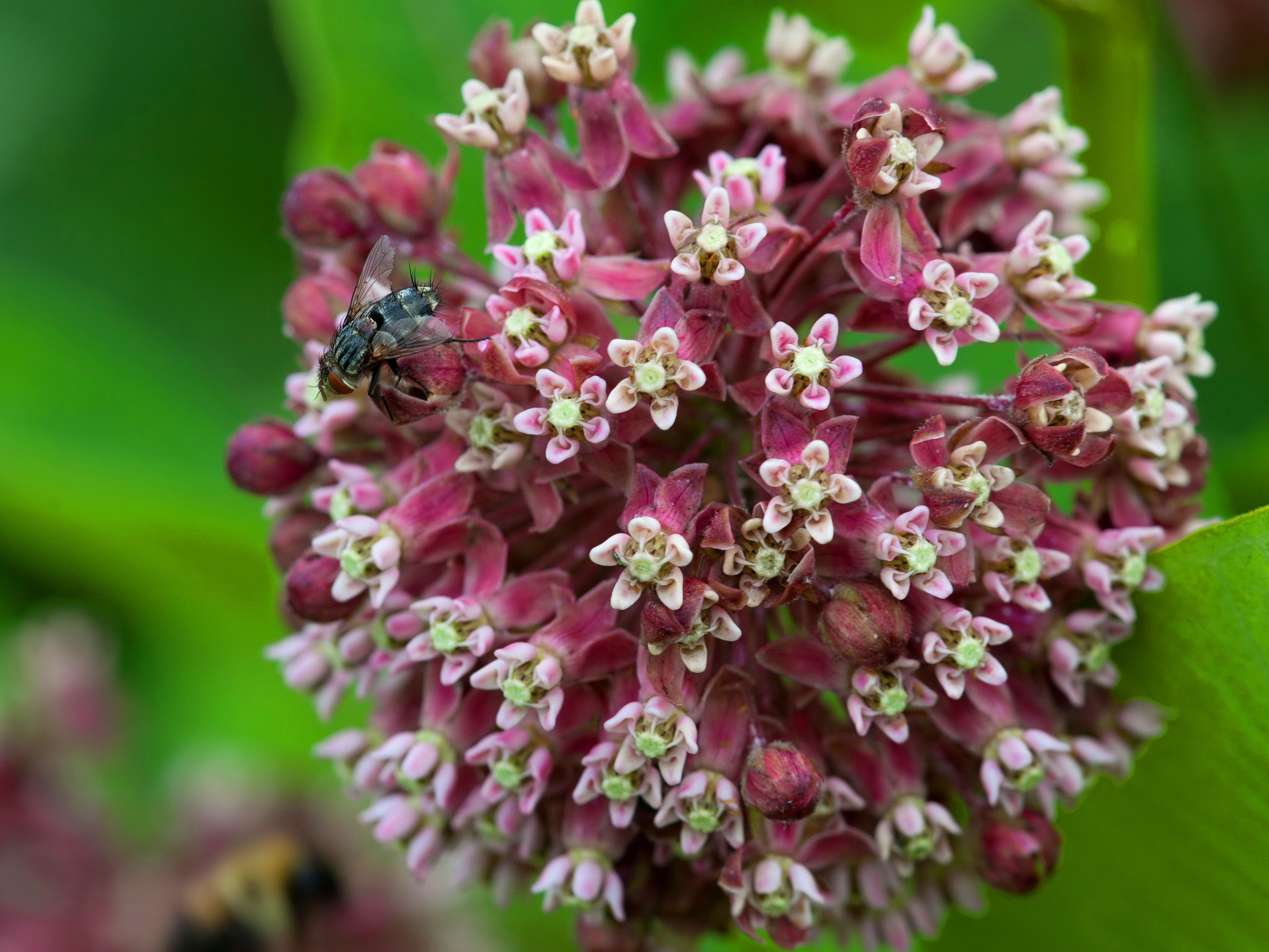 Free photograph; fly, insect, bug, milkweed, food, source