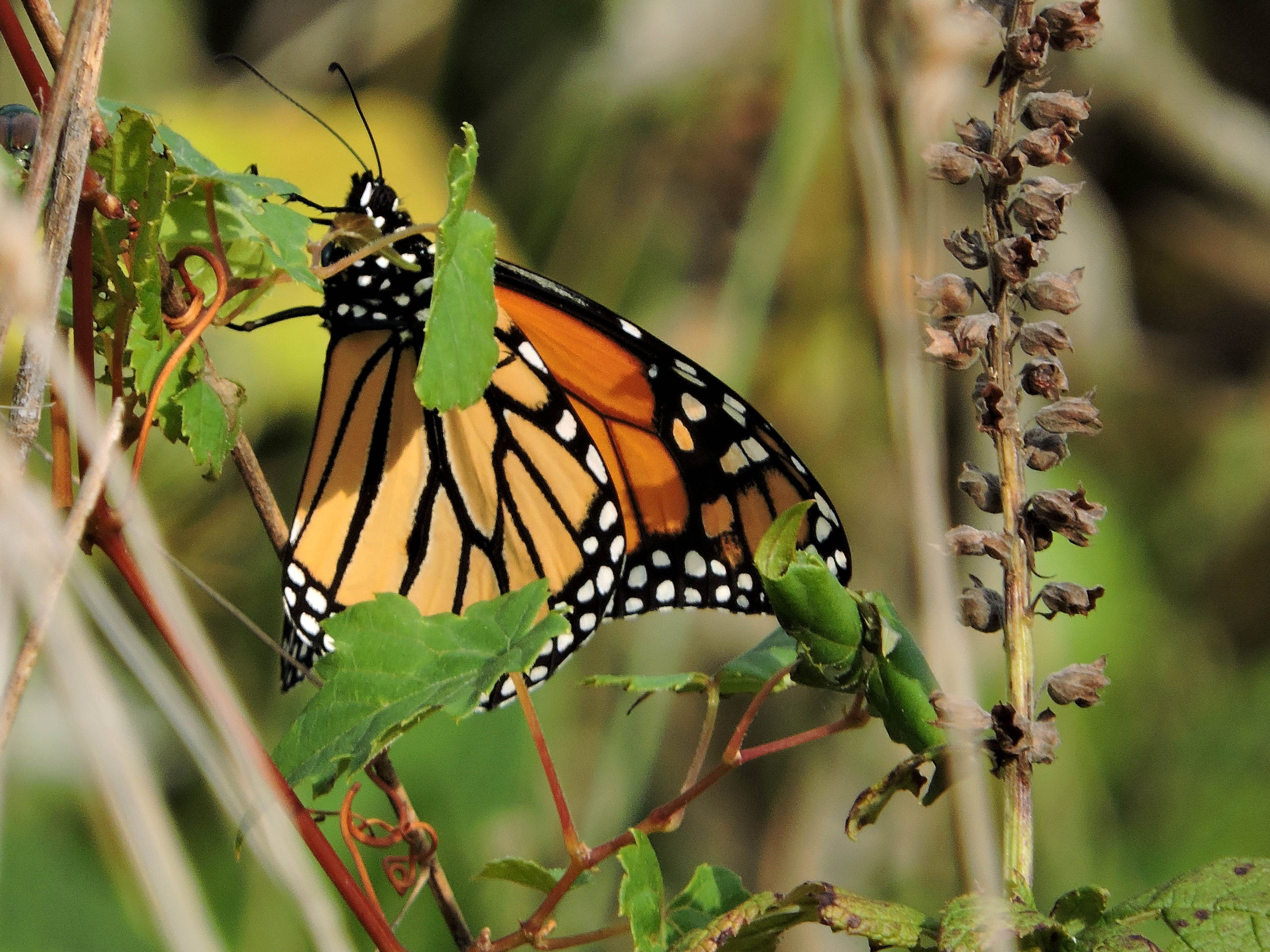 Free photograph; insect, grass, orange, black, Monarch, butterfly