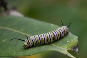 μεταμορφώνονται, πεταλούδα, προνύμφες, σίτιση, φύλλο, φυτό