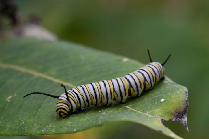 metamorphose, butterfly, larvae, feeding, leaf, plant