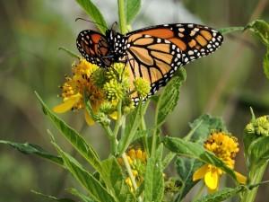 papillon monarque, herbe, vallée