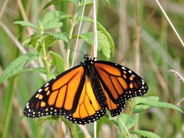 monarch, butterfly, insect, crass, orange