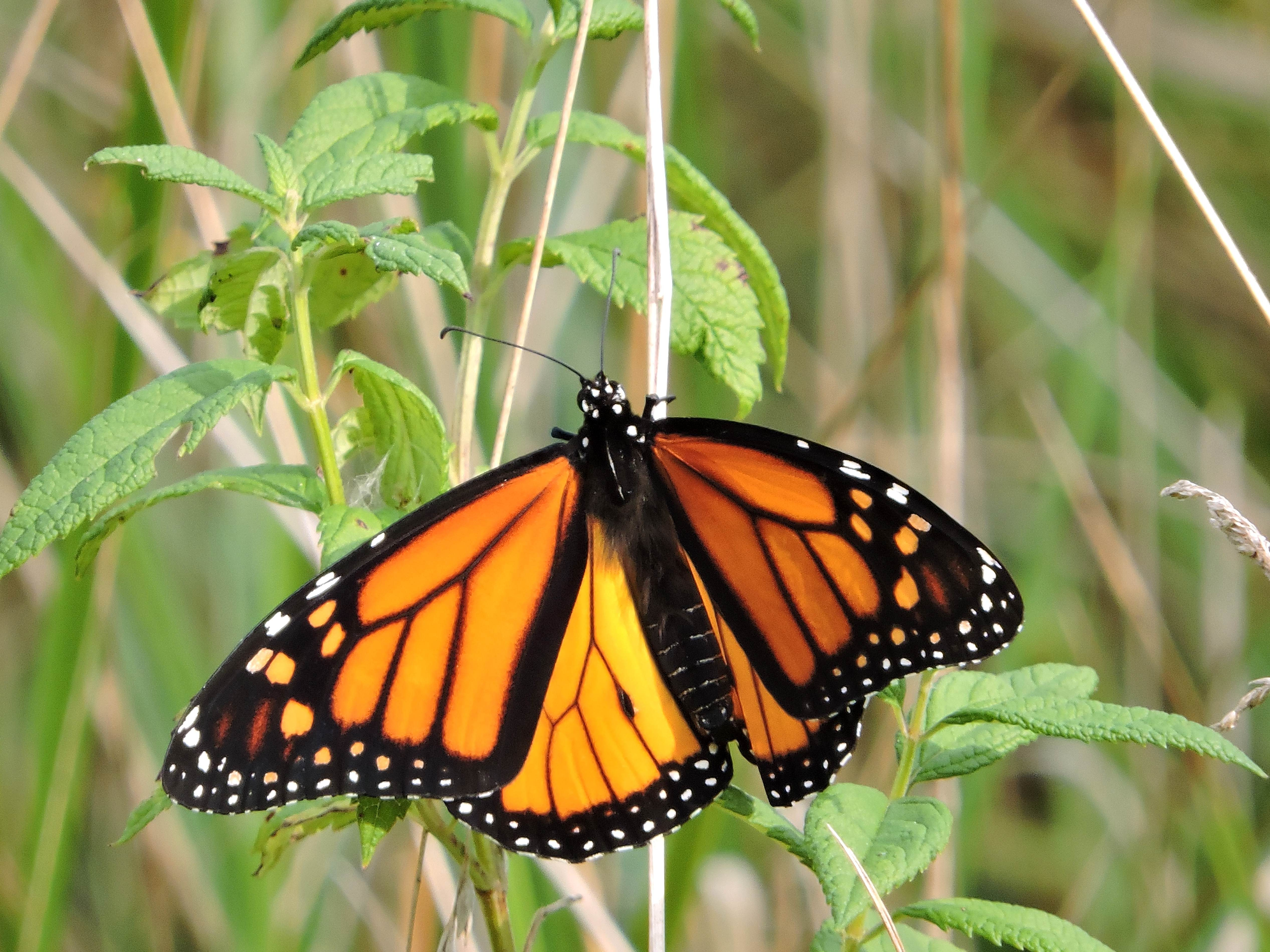 Free photograph; monarch, butterfly, insect, crass, orange