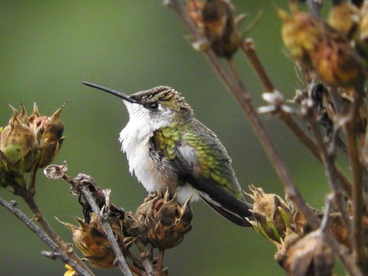 ruby, throated, hummingbird, perches, shrub
