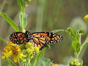 vibrante, naranja, negro, monarca, mariposa, insecto
