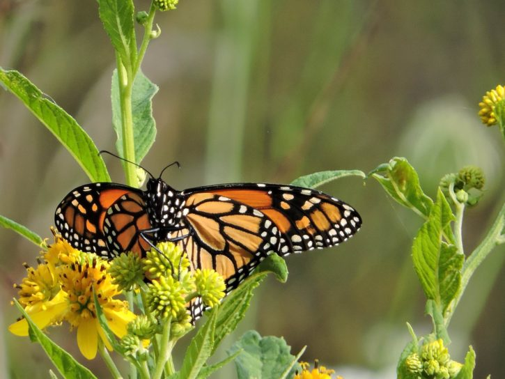 vibrant, orange, black, Monarch, butterfly, insect, bug