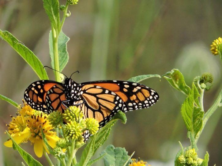 vibrant, orange, noir, Monarch, papillon, insecte