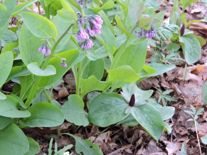 virginia, bluebell, plant, several, Toadshades, full, bloom