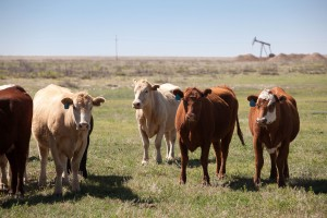 vaches, bovins, ranch, prairies