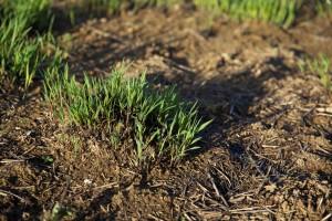 темно, зелена трава, вирощених