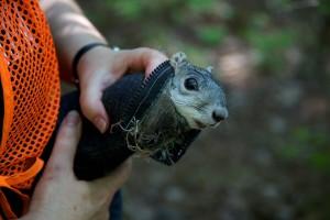delmarva, Halbinsel, Fuchs, Eichhörnchen
