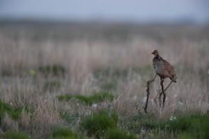 desert, bird, lesser prairie chicken