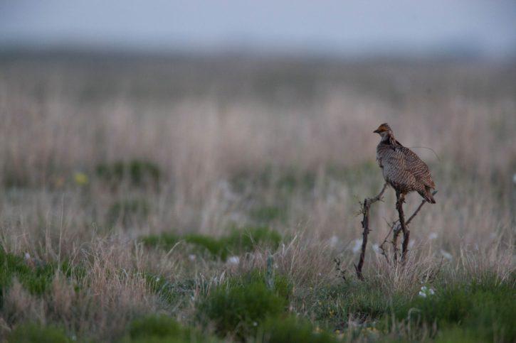 desert, bird, Lesser, Prairie, chicken