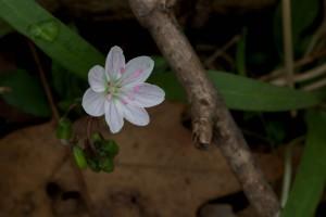 Весна, краси, Вірджинія, навесні, краси, фея, картопля