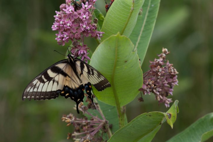 tiger swallowtail butterfly, feeds